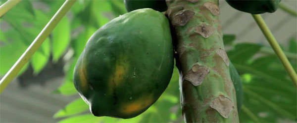 Маски из папайи